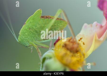 Ein Jugendlicher mehr Winkel-wing katydid (Microcentrum rhombifolium) Tarnung unter der Rose verlässt. - Stockfoto