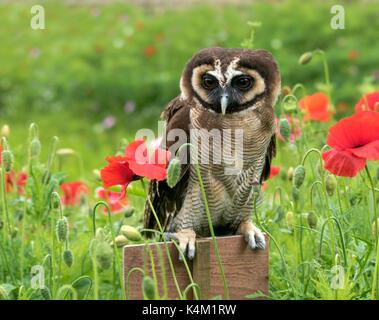 Braunes Holz Eule (Asiatische Holz Owl) Strix leptogrammica - Stockfoto