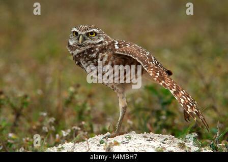 Grabende Eule, Athene cunicularia, Nest, Florida, Stretching Flügel und Bein. - Stockfoto
