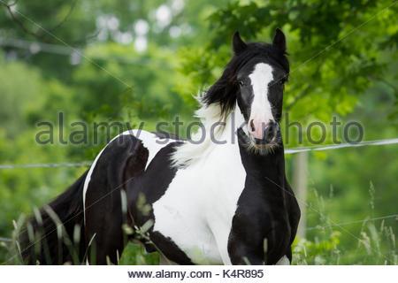 Schwarze und weiße Gypsy Cob Vanner Horse Colt - Stockfoto