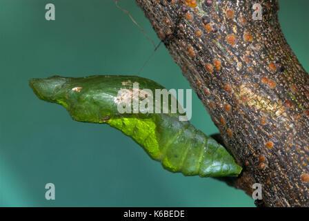 Kalk Schwalbenschwanz Schmetterling Puppen, Papilio demoleus, hängend aus Stammzellen, Zitronen, kleine Zitrusfrüchte, - Stockfoto