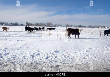 Kühe in einem schneebedeckten Feld an einem sonnigen Wintertag. - Stockfoto