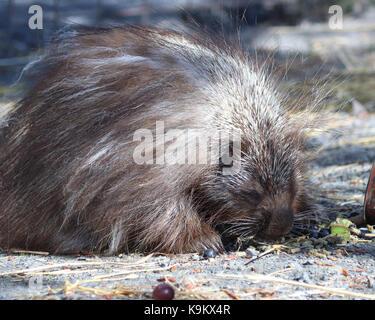 Snickers der berühmten Stachelschwein in Alaska Wildlife Conservation Centre. Er wurde berühmt, wenn ein Man-tube - Stockfoto