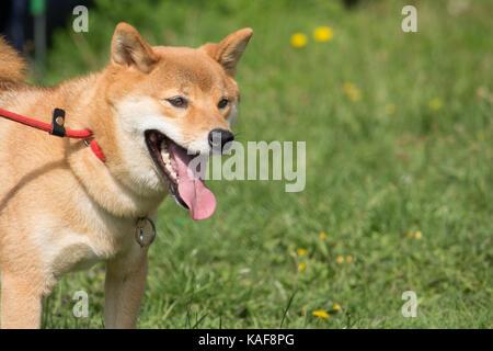 Bildung nach dem Maul des Hundes shiba inu mit der Leine - Stockfoto