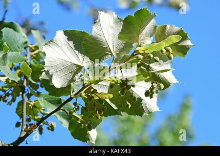 Silver Lime, Silber Linden (Tilia tomentosa) Zweige mit Früchten, die Unterseite der Blätter deutlich sichtbar - Stockfoto