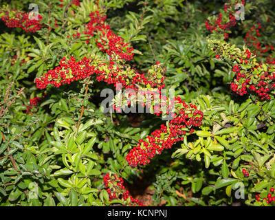 Detail der grünen Strauch mit roten Früchten in einem Garten. aucuba Japonica - Stockfoto