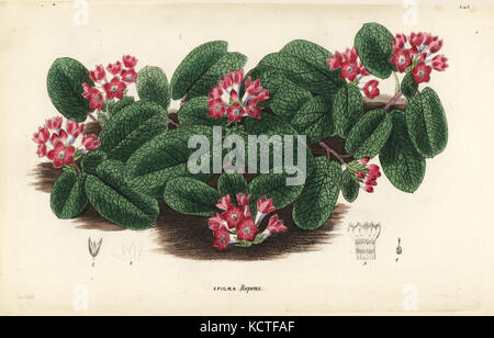 Mayflower oder trailing Arbutus, epigaea repens (rot-blühenden epigaea, epigaea repens var. rubicunda). handkoloriert - Stockfoto