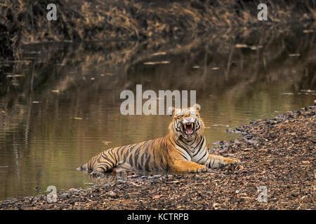 Tiger gähnen, Eckzähne bei Tadoba - Stockfoto