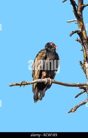 Truthahngeier (cathartes Aura) Truthahngeier, mit rotem Kopf, sitzt auf einem Ast, ruhen. vollständige Aussicht - Stockfoto