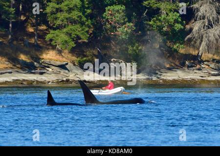 Ein Mann in einem Schlauchboot gerade eine Mutter Orca (Orcinus orca) mit einem Baby vorbei in acove in der Nähe - Stockfoto