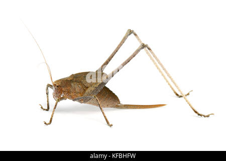 Katydid Grasshopper (weiblich) aus Thailand / Südostasien auf weißem Hintergrund - Stockfoto