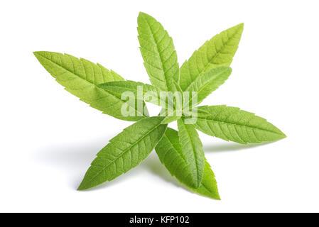 Zitronenverbene Zweig (beebrush) auf weißem Hintergrund - Stockfoto