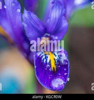 Eine Makroaufnahme eines dunkelblauen vernetztem iris Harmonie. - Stockfoto
