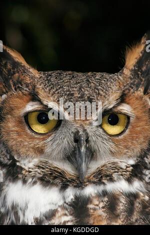 Great horned Owl, Bubo virginianus - Stockfoto
