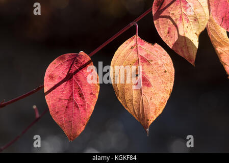 Red korbweiden Hartriegel, cornus sericea, in Oregon wallowa Tal. - Stockfoto