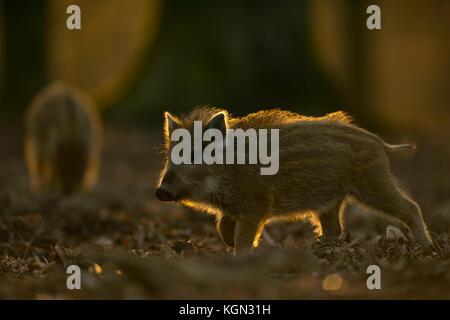 Wildschwein (Sus scrofa), kleine gestreifte Ferkel, etwa zwei Wochen alt, erkunden ihre Umgebung, Lebensraum, in - Stockfoto