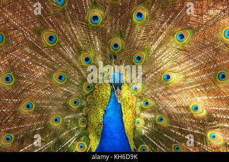 Schönen blauen Pfau, sich seine Federn - Stockfoto