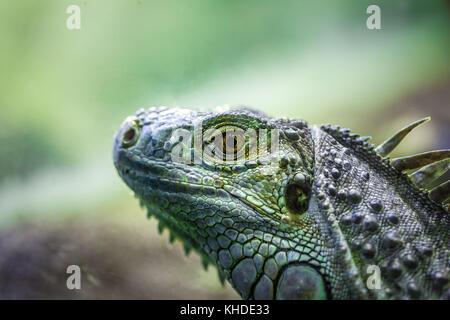Leguan Eidechse Portrait - extreme Nahaufnahme auf unscharfen Hintergrund - Stockfoto