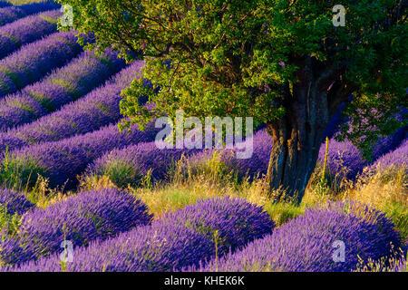 Lavendelfeld in Plateau von Valensole - Stockfoto