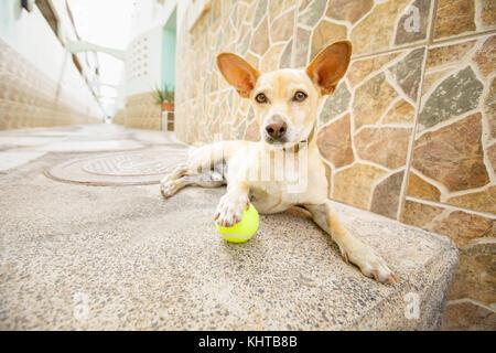 Chihuahua Hund warten auf Besitzer mit Spielzeug Ball spielen und für einen Spaziergang mit Leine ins Freie gehen. - Stockfoto