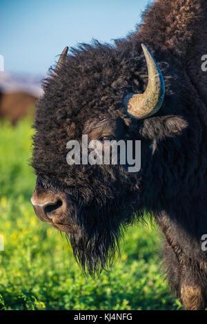 Kopf Blick auf amerikanische Bison (Bison bison), Badlands National Park, S. Daktoa, USA, von Bruce Montagne/Dembinsky - Stockfoto