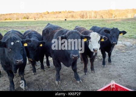 Herde der schwarzen Rindfleisch Kühe auf einer Weide im Winter warten auf Ergänzungsfuttermittel in der Nähe von - Stockfoto