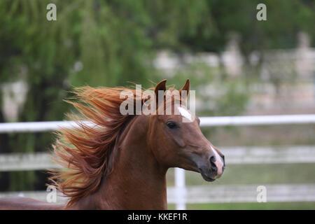 Chestnut arabischen Hengst - Stockfoto