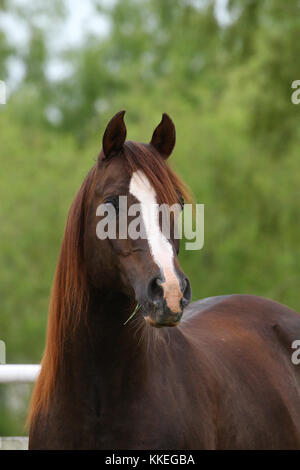 Chestnut arabischen Hengst Headshot - Stockfoto
