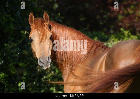 Chestnut arabischen Hengst an Kamera - Stockfoto