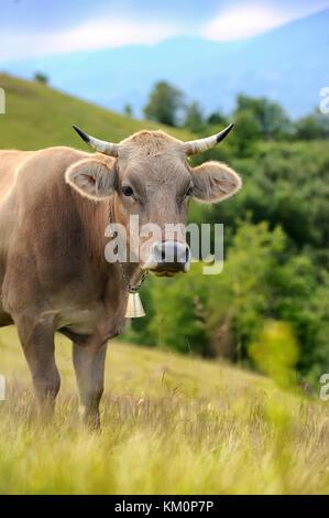 Kühe auf einer Wiese im Sommer in den Bergen - Stockfoto