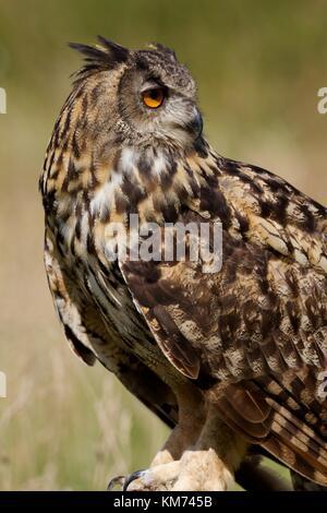 Eurasische Adler-Eule (Bubo Bubo) - Stockfoto