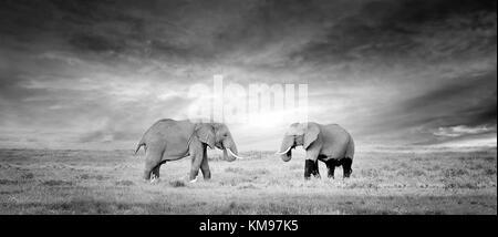 Zwei Elefanten in freier Wildbahn - Nationalpark Kenia - Stockfoto