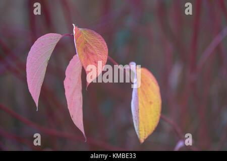 Hartriegel Cornus Blätter im Herbst - Stockfoto