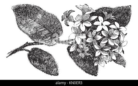 Mayflower oder Trailing Arbutus oder Epigaea repens, vintage Gravur Alte eingravierten Abbildung eines Mayflower - Stockfoto