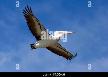 Flying pelican im blauen Himmel, Victoria, Australien. - Stockfoto