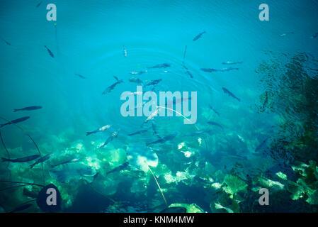 Fisch in sauberem Wasser der Krka Nationalpark, einem der kroatischen Nationalparks in Sibenik, Kroatien. - Stockfoto