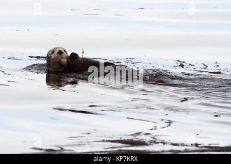 Weibliche Seeotter schwimmend auf die Wellen und halten ein Kalb auf Ihrem Körper - Stockfoto