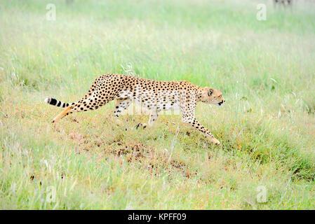 Wildlife Sightseeing in einer der Tierwelt Reiseziele auf earht - Serengeti, Tansania. Männliche Geparden auf der - Stockfoto