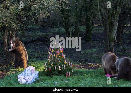 Whipsnade, UK. 19. Dezember, 2017. Die drei Jungen Europäischen Braunbären Schwestern, namens Snövit, Askungen und - Stockfoto
