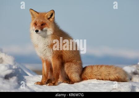 Ezo Red Fox (Vulpes vulpes schrencki) im Winter. - Stockfoto