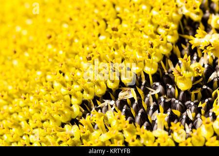 Nahaufnahme der Sonnenblume - Stockfoto