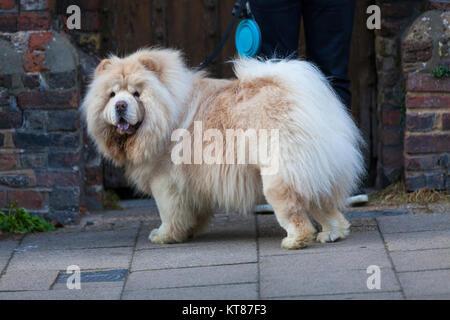 Ein wunderschönes Chow Chow Dog in die Kamera im Roggen High Street Pflaster suchen, alten Ziegel Hintergrund - Stockfoto