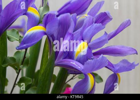 In der Nähe von blauen und gelben Schwertlilien übersicht Blütenblatt detail und die lebendigen Farben - Stockfoto