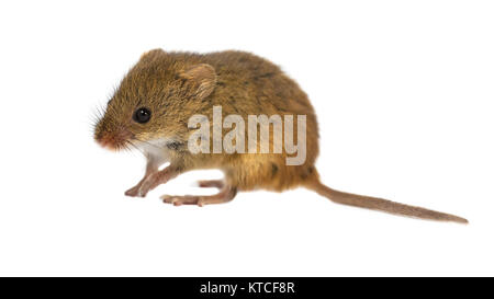 Neugierige junge Ernte Maus (Micromys Minutus) mit niedlichen braunen Augen wandern auf weißem Hintergrund, Studio - Stockfoto