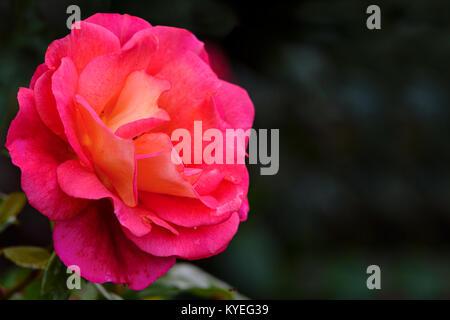 Wunderschön blühende rosa Rose gegen einen unscharfen Hintergrund der Garten in close-up (mit Kopie Raum) - Stockfoto