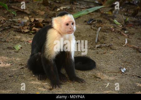 Eine junge white-faced Kapuziner Affen sitzen neben einem Wanderweg in der Nähe von Corcovado Nationalpark an der - Stockfoto