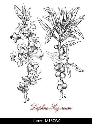 Vintage Gravur von Daphne mezereum oder Februar Daphne, dekorative Strauch im Garten mit duftenden Blumen und giftige - Stockfoto
