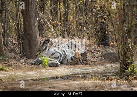 Wild, erwachsenen männlichen Bengal Tiger, Panthera tigris Tigris, Schlafen, Entspannen auf seinem Rücken, Bauch - Stockfoto