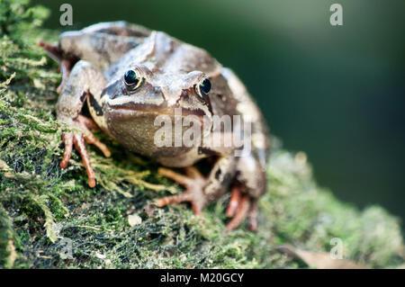 Grün und Braun Frosch in der Natur - in der Nähe - Stockfoto