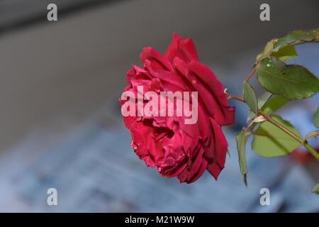 Rose, rote Blume - Stockfoto